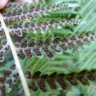 Rough tree fern