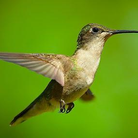 + by Roy Walter - Animals Birds ( flight, animals, wings, wildlife, birds, hummingbirds )