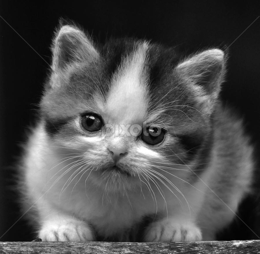 by Cacang Effendi - Black & White Animals ( cattery, kitten, cat, animals, chandra )