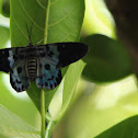 The Blue Tiger Moth