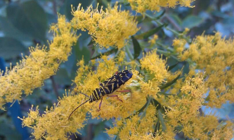 Megacyllene Locust Borer