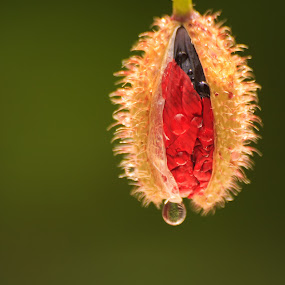poppy flower head opening by Keren Woodgyer - Flowers Flower Buds ( water, vertical, nobody, photograph, single, flora, copyspace, green, fragility, dew drop, poppy, beauty in nature, close up, spring, macro, new, red, nature, flower head, opening, summer, bud, flower, growth )