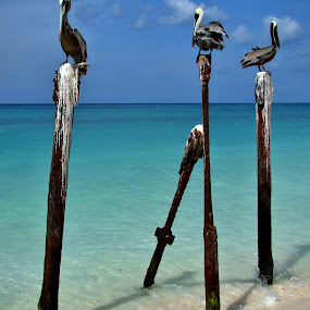 Adventure friends by LoRe Pics ARG - Animals Birds ( sand, turquoise, aruba, sea, pelicans, beach, seascape, colorful, mood factory, vibrant, happiness, January, moods, emotions, inspiration,  )