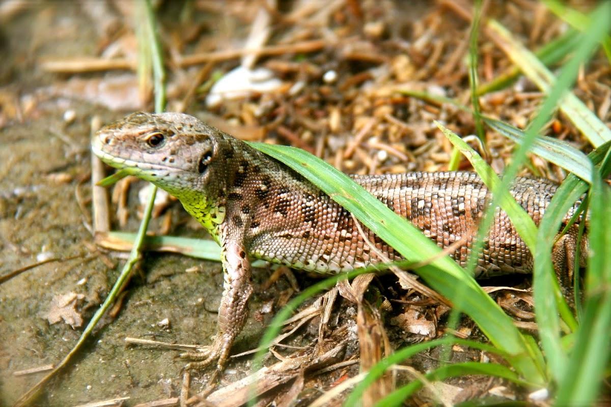Sand Lizard female (Zauneidechsen Weibchen)