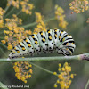 Black swallowtail caterpillar (pre-pupal phase)