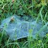 Grass Spider's web