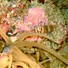Snakelocks shrimp