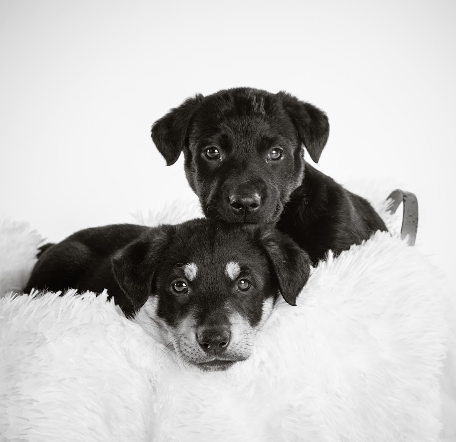 Bonded Brothers by Karen Clemente - Animals - Dogs Puppies ( puppies, cute puppy, playful, adorable, labrador,  )