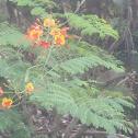 Peakcock Flower