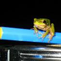 Dwarf Green tree frog