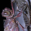 Dragonfly metamorphosis