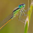 Iberian Bluetail