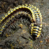 Asian millipede