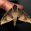 Pale Edged Mottled Hawkmoth