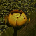 Spatterdock Flower / Yellow Water-lily