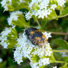 Flower Scarab - Bumble Bee Mimic