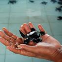 Hawksbill Sea Turtle Hatchlings