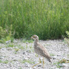 Spotted Thick-knee (Dikkop)