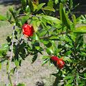 """Wonderful"" Pomegranate"