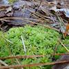 Blunt-leaved Bog Moss