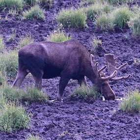 Muddy Moose by  J B  - Animals Other Mammals ( moose wallow, moose, bull moose, animal )