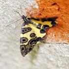 Blotched Leopard moth