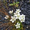 Marsh Grass of Parnassus