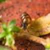 Chrysalis Snail