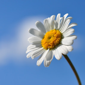 Ox-eye Daisy (A taste of Summer) by Tony Steele - Flowers Flowers in the Wild ( daisy wild flowers )