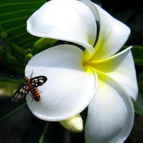 Frangipani with Lady Bee  by Jo-Ann Tan - Flowers Single Flower (  )