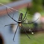 人面蜘蛛 Nephila pilipes