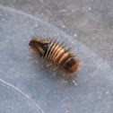 Carpet Beetle larval form