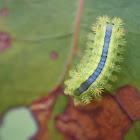 Blue-striped Nettle Grub
