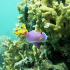 Purple nudibranch