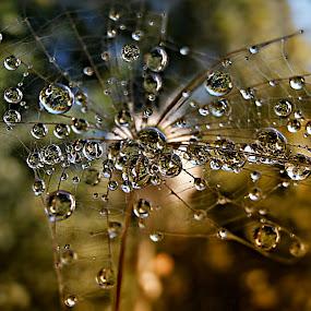 Grandeur Of The Fragile Structure by Marija Jilek - Nature Up Close Natural Waterdrops ( water, fragile structure, grandeur, nature, drops, plants, natural waterdrops, seeds )