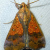 Orange Cotton Moth