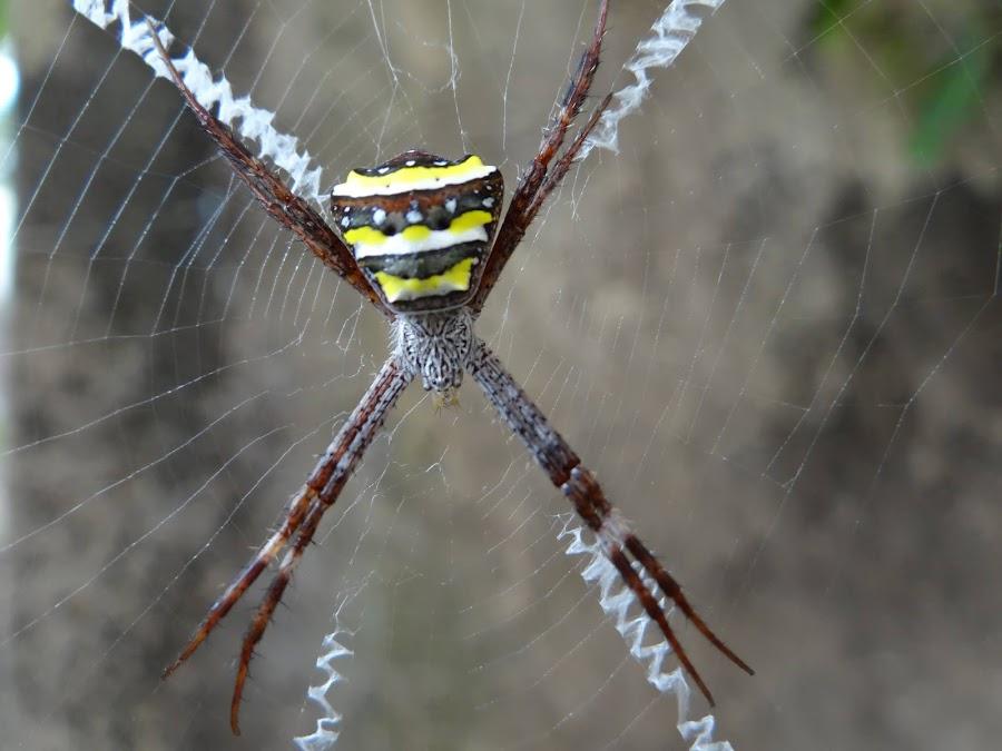 Signature spider in Kolkata by Sumanta Kallol - Nature Up Close Webs
