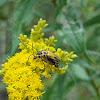 Goldenrod Soldier beetle