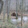 North American beaver (lodge & dam)