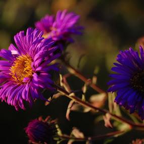 Autumn flowers by Teglas Marin - Flowers Flower Gardens