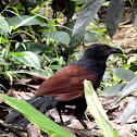 Great Coucal