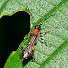 Blood-necked Longhorned Beetle