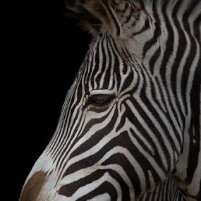 Zebra portrait by Marsilio Casale - Animals Other Mammals ( nature, zebra, portrait, closeup, animal )
