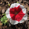 Petunia Red and White