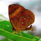 Callies Moth