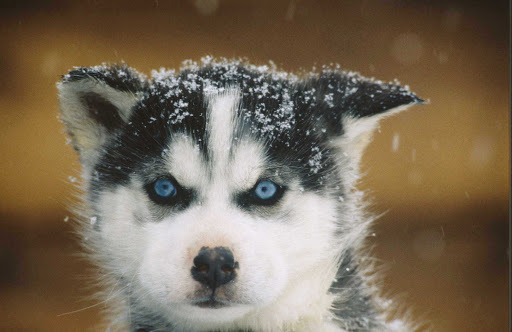 sled-puppy-Quebec - A sled-dog puppy is ready to go in Quebec, Canada.