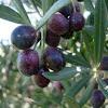 Olivo. Olive tree