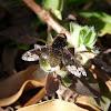 Bombyliidae Fly - Mosca