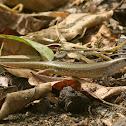 Skink - Lizard
