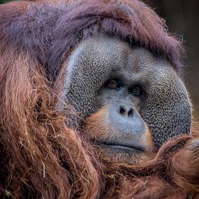 Deep in Thought by Stuart Partridge - Animals Other Mammals ( zoo, houston, d600, orangutan, nikon )